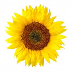 Gelbe Sonnenblume